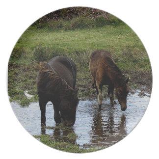 Två Dartmoor ponnyer som dricker på att bevattna Tallrik