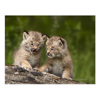 Två kattungar för Kanada lodjur (lodjuret Vykort