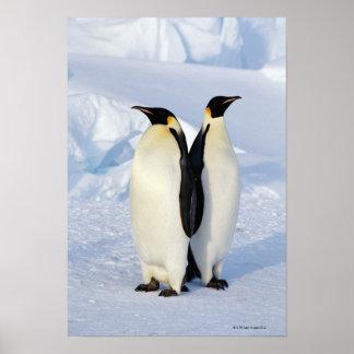 Två kejsarepingvin i Antarktis Poster