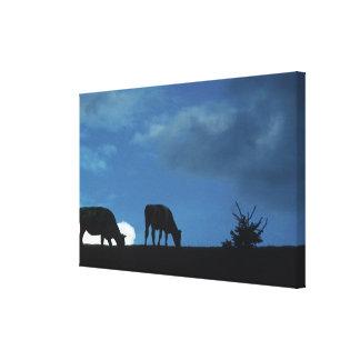 Två kor i silhouette som betar på back canvastryck