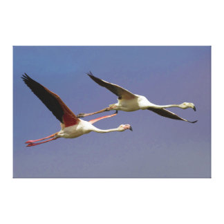 Två mer underbara Flamingos Phoenicopterus Roseus  Canvastryck