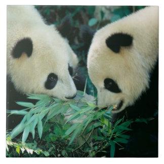 Två pandas som tillsammans äter bambu, Wolong, Kakelplatta