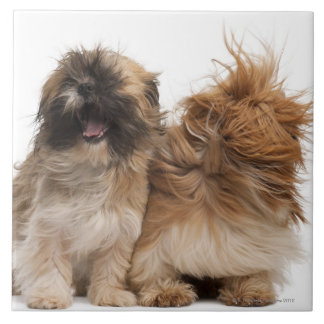 Två Shih-Tzus i vinden Kakelplatta