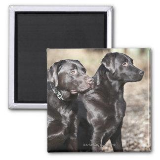 Två svart Labrador retrievers Magnet