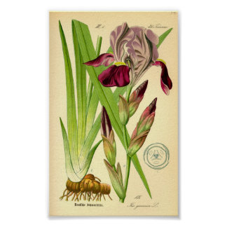 Tysk Iris (Irisgermanicaen) Poster