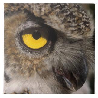 underbar horned uggla, Stix varia, Alaska Zoo, Kakelplatta