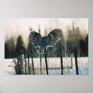 Underbart grå färgugglafoto på kanfas posters