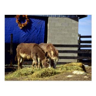 Unga åsnor vykort