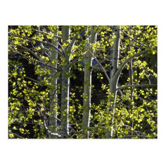 Unga asp- träd vykort