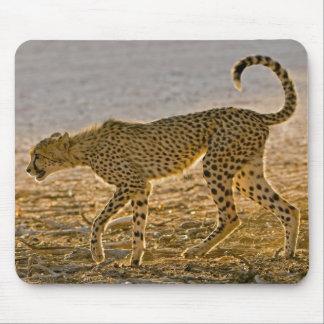 Unga stjälkar för Cheetah (acinonyxen Jubatus) Musmatta