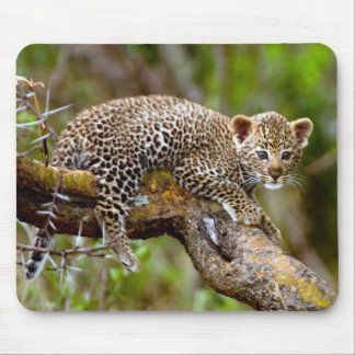 Unge för Leopard för tre månad gammal (pantheraen Musmatta
