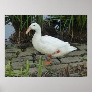 Unika ankor för en vit på ett damm poster