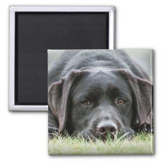 Uppnosig choklad Labrador Magnet