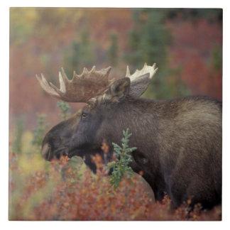 USA Alaska, älg för Denali nationalparktjur in Kakelplatta