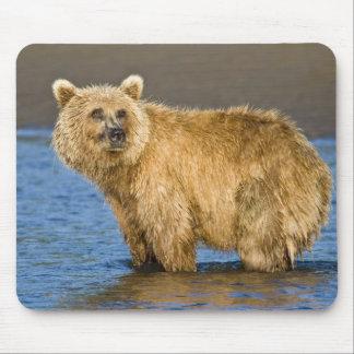 USA. Alaska. Kust- brun björn som fiskar för Musmatta