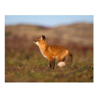 USA Alaska, röd räv, nedgångtundrafärger som är Vykort