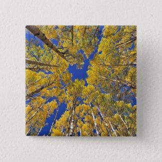 USA Colorado, asp- område. Asp- skog i nedgång Standard Kanpp Fyrkantig 5.1 Cm
