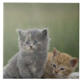 USA Colorado, Divide. Två ladugårdkattungar posera Kakelplatta