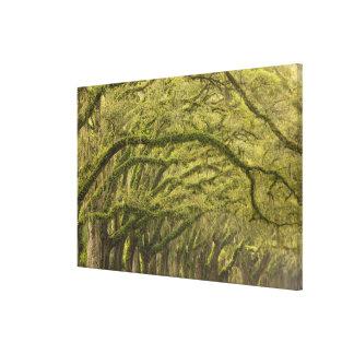 USA; Georgia; Savannah. Oakträd med Canvastryck
