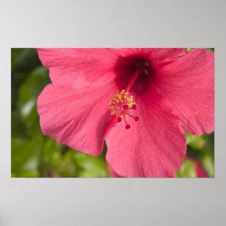 USA Hawaii, Kauai, hibiskus Poster