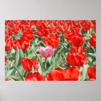 USA Kansas, röda tulpan med en rosa tulpan Poster