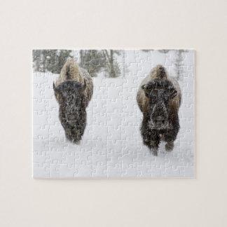 USA WY, Yellowstone NP, amerikanBison (Bison Pussel