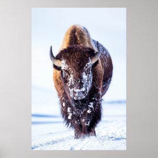 USA Wyoming, Yellowstone nationalpark, tjur 2 Poster