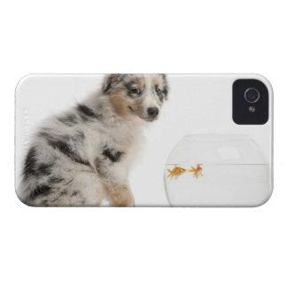 Valp för blåttMerle australian shepherd som tittar Case-Mate iPhone 4 Skal