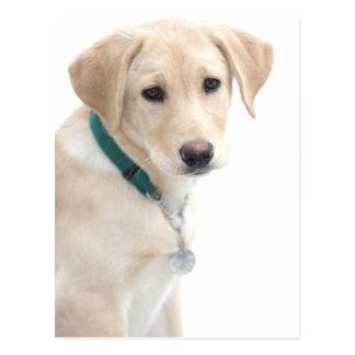 Valp för Labrador Retriever, HERR) Vykort