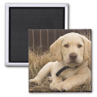 Valp för Labrador Retriever Magnet