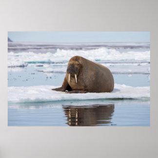 Valross som vilar på is, norge poster
