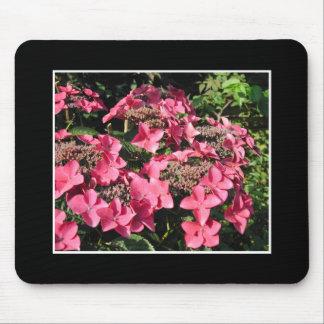 Vanlig hortensia. Rosan blommar på Black. Musmatta