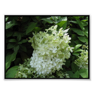 Vanlig hortensiablommarfoto på kanfas posters