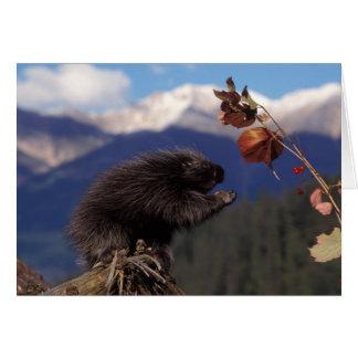 Vanligt borstar porcupinen som äter alaskabo kick hälsningskort