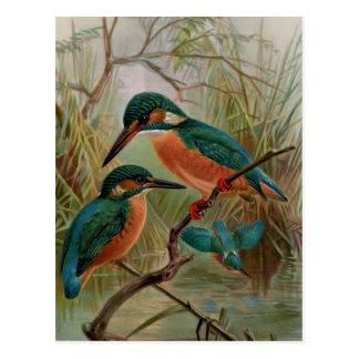 Vanligt illustration för Kingfishervintagefågel Vykort