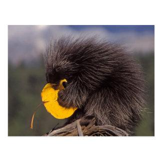 vanligt porcupine, Erethizondorsatum, bebis Vykort