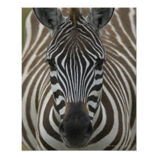 Vanligt sebra (Equusquagga), tätt upp Poster