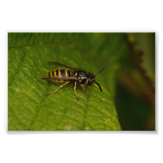 Vanligt Wasp Fototryck