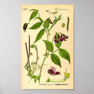 VårVetch (Lathyrusvernusen) Poster