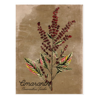 Växt för vintagestilAmaranth Vykort