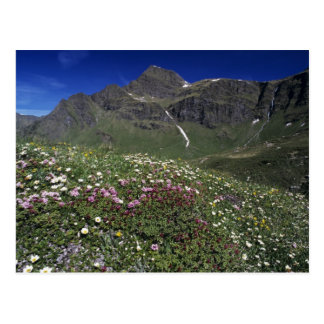 Vildblommar som blommar, alperna, Schweitz Vykort