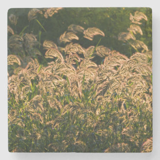 VildMillet (PanicumSp.) Växa i våtmark Underlägg Sten