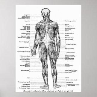 Vintage - människaanatomimuskler poster