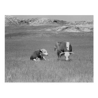 Vintagefoto av tjurar vykort