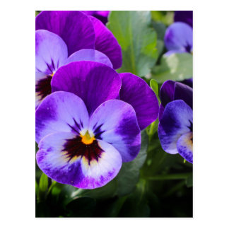 violett pansy vykort