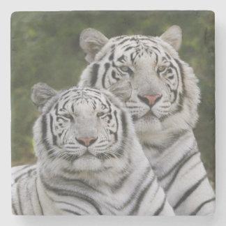 Vit arrangerar gradvis, den Bengal tigern, Tigris Stenunderlägg