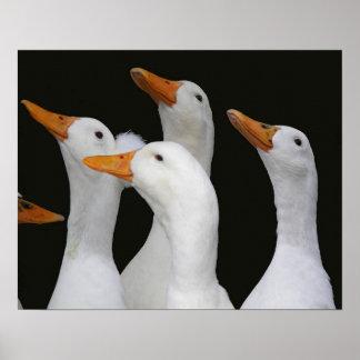 Vit duckar fotoet poster