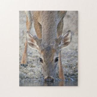Vit-tailed dricka för hjort (Odocoileusvirginianus Jigsaw Puzzle