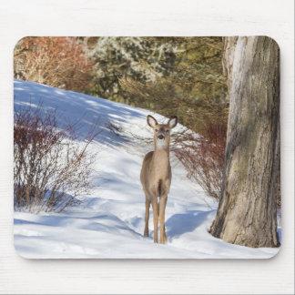 Vit-tailed hjort som tittar dig musmatta