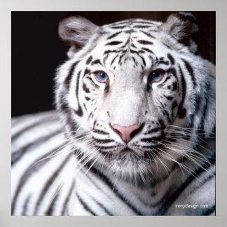 VitBengal tiger Poster